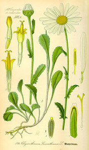 Illustration_Chrysanthemum_leucanthemum0